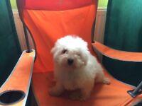 Bishon Frise pup