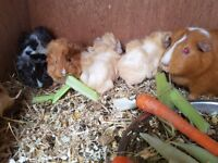 Male Guinea Pigs Ready to Go end of May