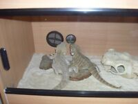 2x 3 year old bearded dragon and full set up.
