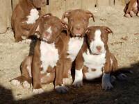 American bully XL pups chocolates
