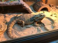 Bearded dragon for sale.