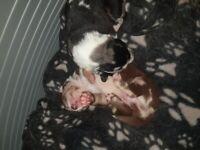 Labarador x Australian Shepherd puppies forsale