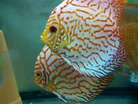 Discus pairs of Checkerboard