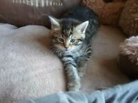 BEAUTIFUL CROSS BENGAL TABBY KITTEN ONE LEFT