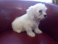 Beautiful Cavachon Puppy from King Charles Mother and Pedigree Bichon Frise father. Lovely puppies