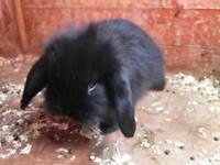 Loin lop rabbits