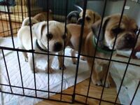 *last one* puggle puppy, pug x beagle