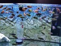 @@@MALAWI PEACOCKS@@@ AQUARIUM FISH