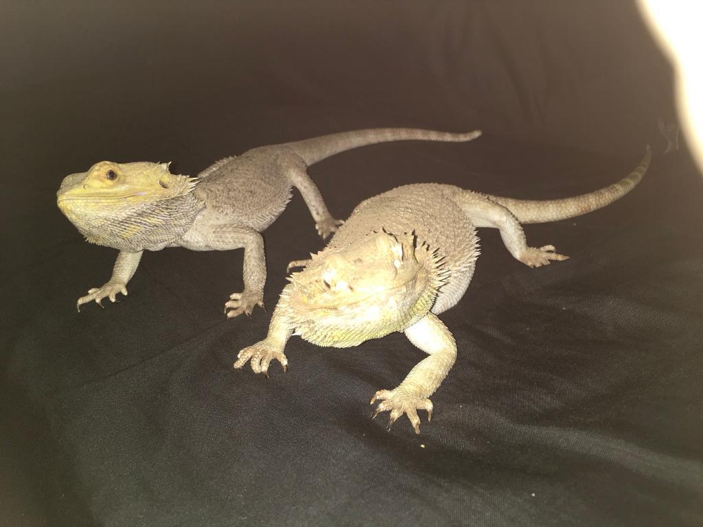 2 x bearded dragons