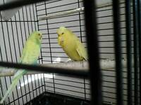 2 yellow budgies