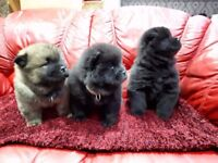 Purebred Chow Chow puppies for sale!