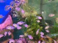 Baby Elliot Cichlid Fish