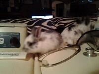 BABY LIONHEAD LOP BUNNIES 2 available