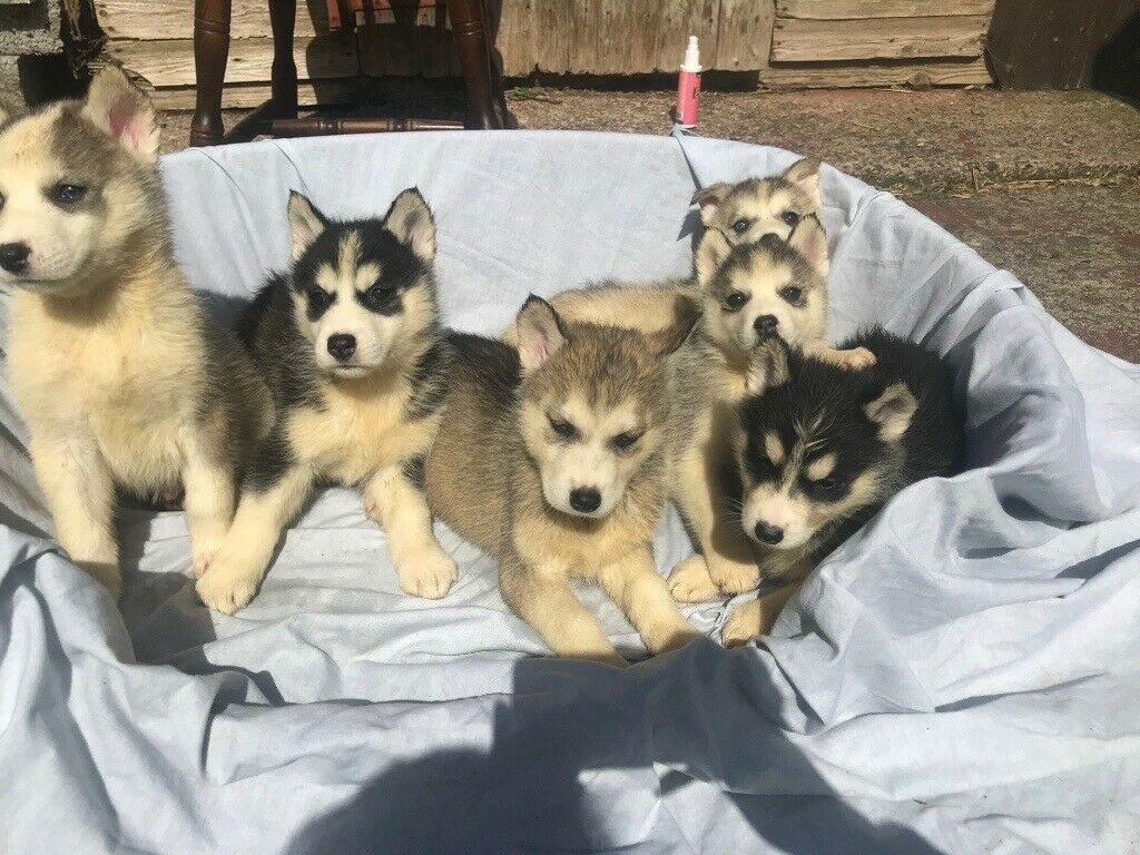 Siberian Husky Puppies Are In Northern Ireland In Moira County Armagh Gumtree