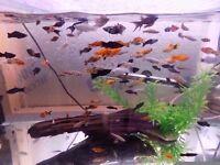 Tropical fish job lot (all Livebearers)