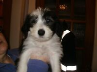 Adorable bearded collie puppies