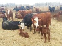 blk and red heifer pairs