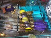 6 baby hamsters for sale