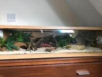 3 female geckos and viv