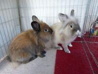 FREE 2 gorgeous half lion head rabbits