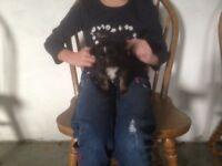 Chihuahua cross juck Russel puppies 2 girls 1 boy