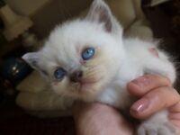 Britsh Shorthair Colurpoint kitten male & solid blue female