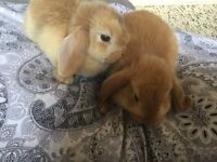 2 Dutch Lop baby bunnies
