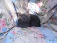 British Blue/Ragdoll Kittens