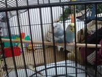 PAIR OF BUDGERIGAR,S, WITH CAGE.