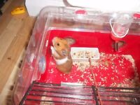 Lovely little hamster 4 months old and accessories