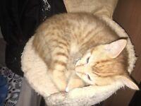 Adorable Ginger Bot Kitten