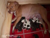 Gorgeous Staffordshire Bull Terrier Puppies looking for their forever homes