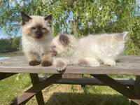 Beautiful pure bred ragdolls kittens