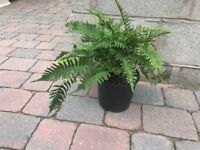 Outdoor fern plant ,fully hardy.