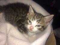 1 male Kitten for sale