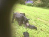 5 miniature schnauzer pups for sale