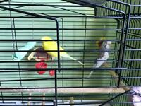 Budgies pair