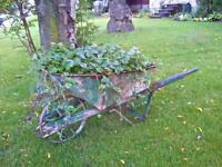 Old Wheelbarrow full of fruit producing strawberries
