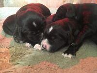 Springador Puppies