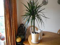 House plant (Dracaena Marginata) in a metal pot for sale
