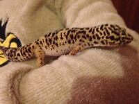 Female gecko