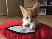 Beautiful male ginger and white kitten