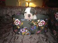 Stunning Bull Dog puppy