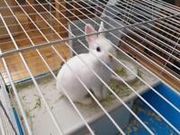 Netherlands dwarf rabbits
