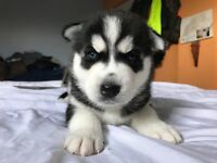Beautiful 100% Siberian Husky Males puppies for sale