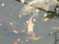 2 Ghost Koi Fish for Sale
