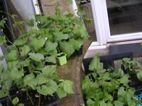 runner bean plants sold in single pots or trays of 6 and 9's choice from 4 varieties