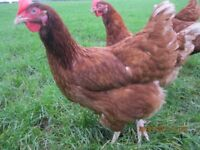 10 BROWN LAYING HENS FOR FREE - APPROX 88WKS