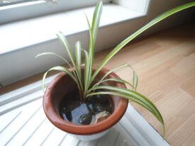 Spider plant in ceramic pot
