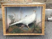 Taxidermy - vintage white pheasant with realistic background